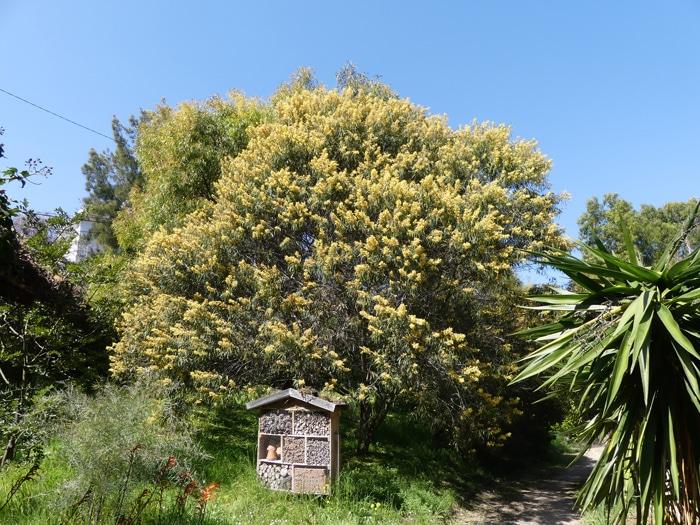 Acacia leiophylla Villa Thuret