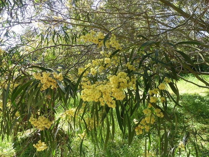 inflorescences Acacia leiophylla