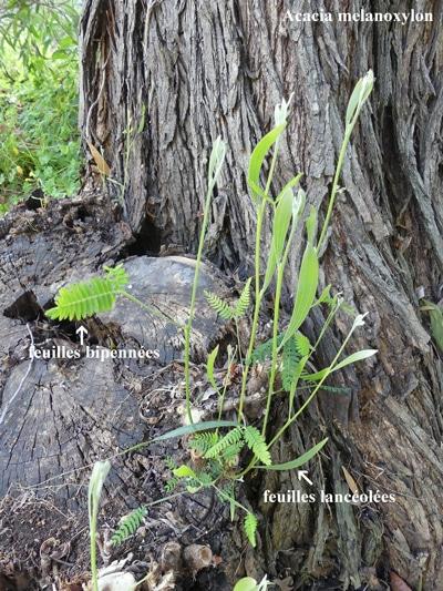 feuillage mixte de l'acacia à bois noir