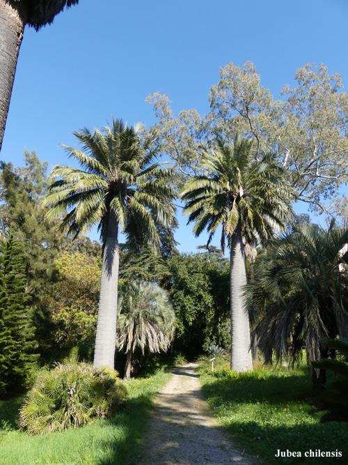 Jubea chilensis Villa Thuret