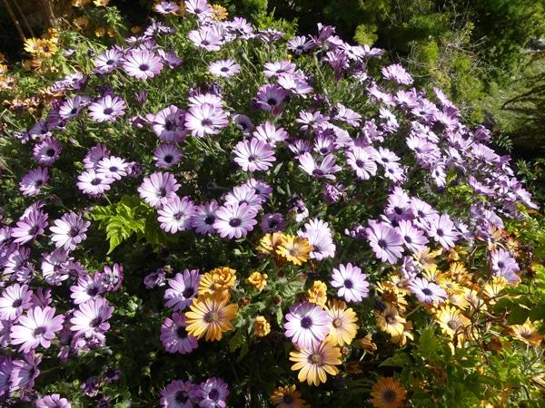 Asteraceae Jardin botanique de Nice