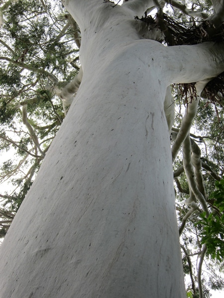 écorce Eucalyptus dorrigoensis