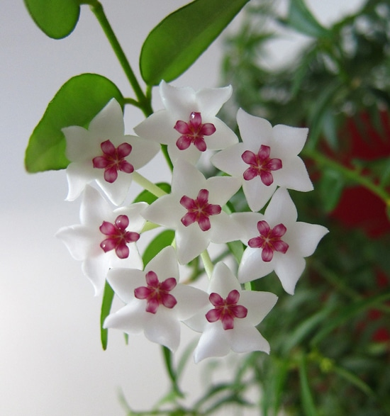 fleur Hoya bella