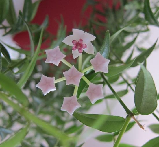 épanouissement de fleur de porcelaine