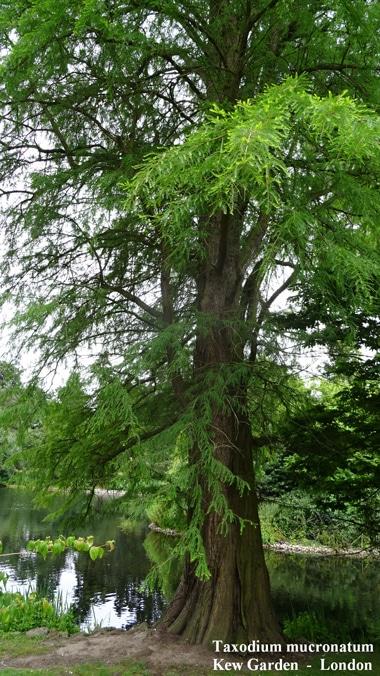 Cyprès de Montezuma Kew Garden