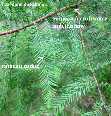 rameaux Taxodium distichum