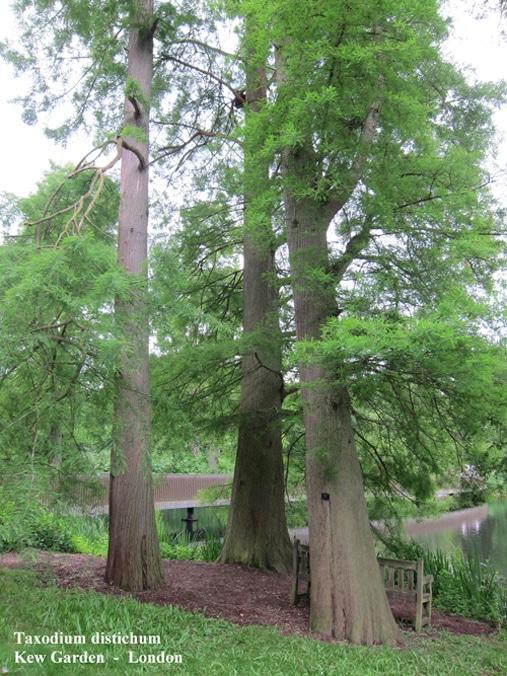 Cyprès chauve Kew garden