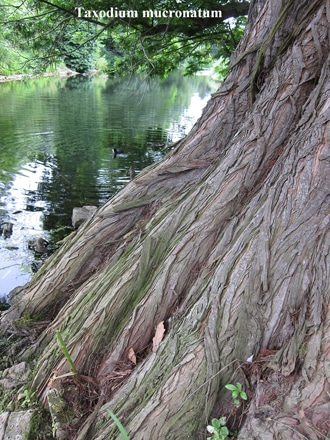 écorce Taxodium mucronatum