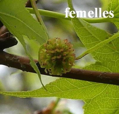 glomérules fleurs femelles du Liquidambar