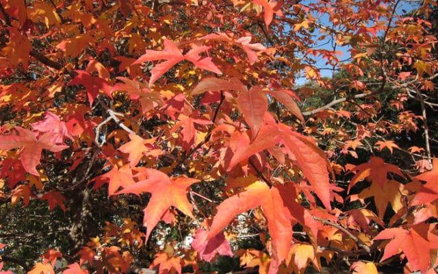 feuillage d'automne du liquidambar