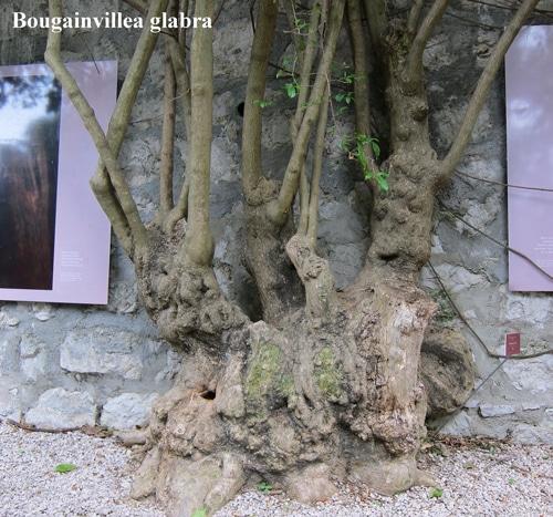 souche Bougainvillea glabra à Val Rahmeh Menton