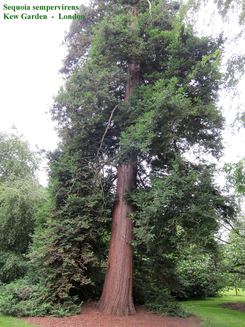 Sequoia sempervirens Kew Garden London