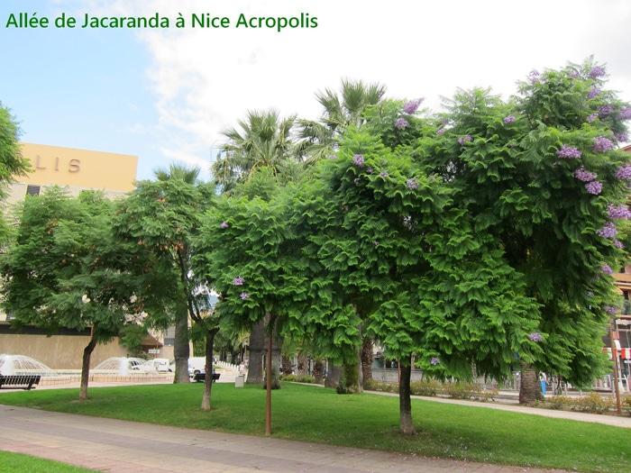 allée de Jacaranda à Nice Acropolis (06)