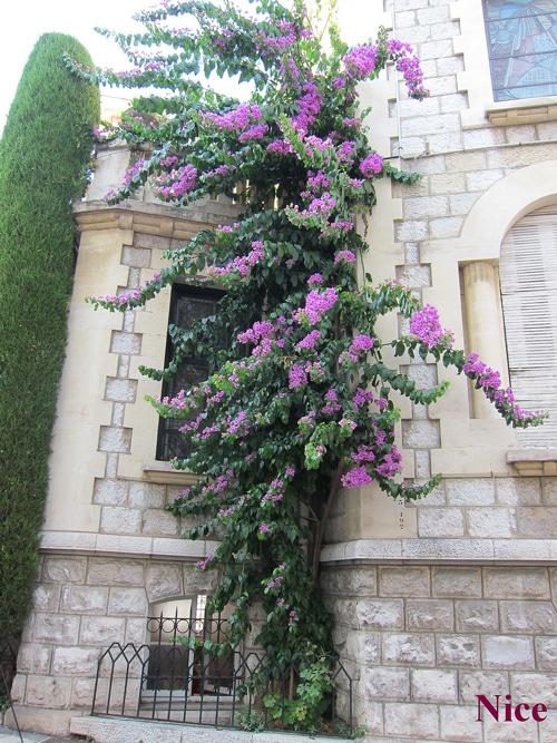 Bougainvillier à Nice (06)