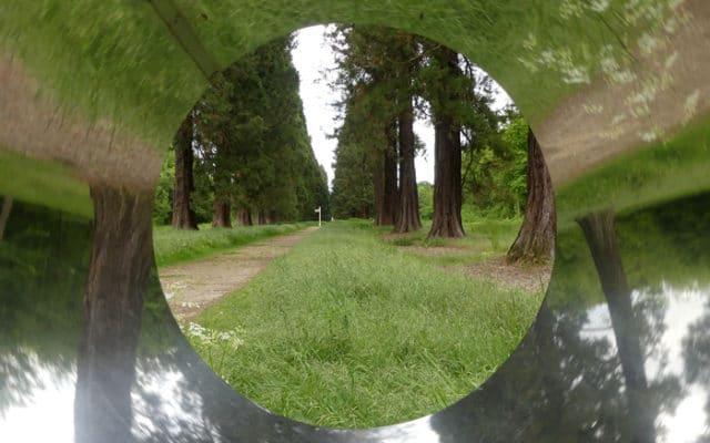 Sequoiadendron forêt de Ferrières en Brie