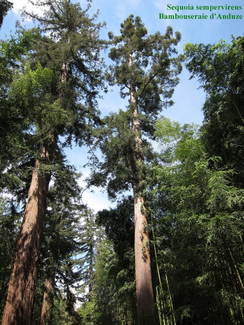 Allée de Sequoia serpenvirens - Bambouseraie d'Anduze