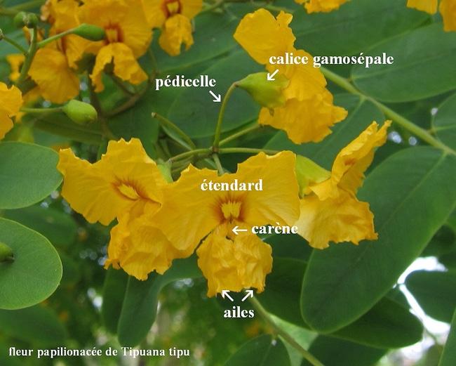 fleur papilionacée Tipuana tipu