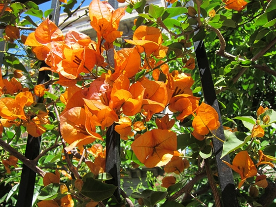 cultivar bougainvillier orange