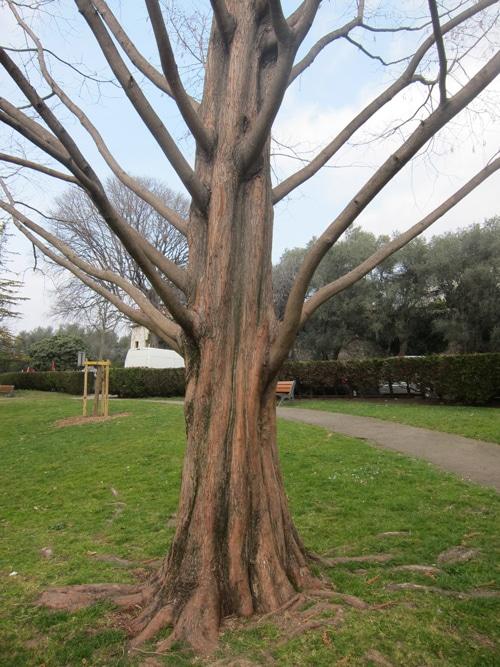 tronc cannelé du métaséquoia