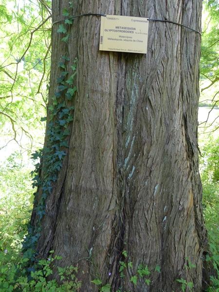 écorce séquoia de Chine