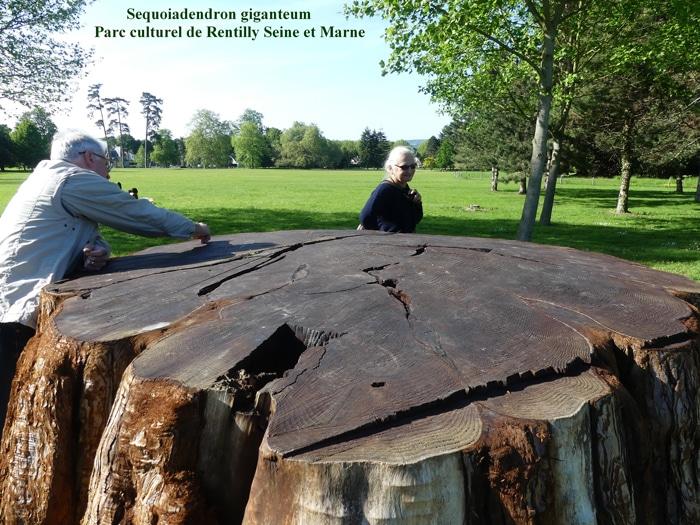 souche de Sequoiadendron Parc de Rentilly (77)