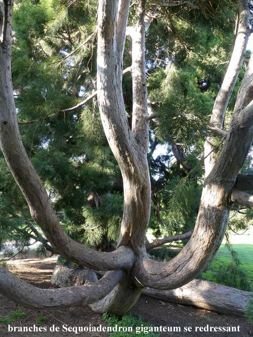 développement d'une branche enracinée Sequoiadendron