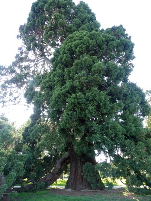 branche enracinée Sequoiadendron