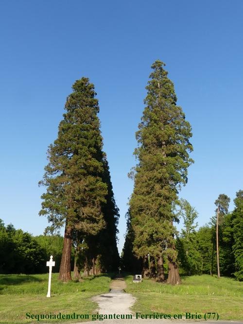 Redwoods forêt de Ferrières en Brie (77)