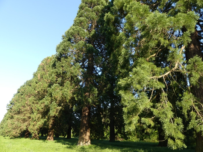 Giant redwoods Seine et Marne