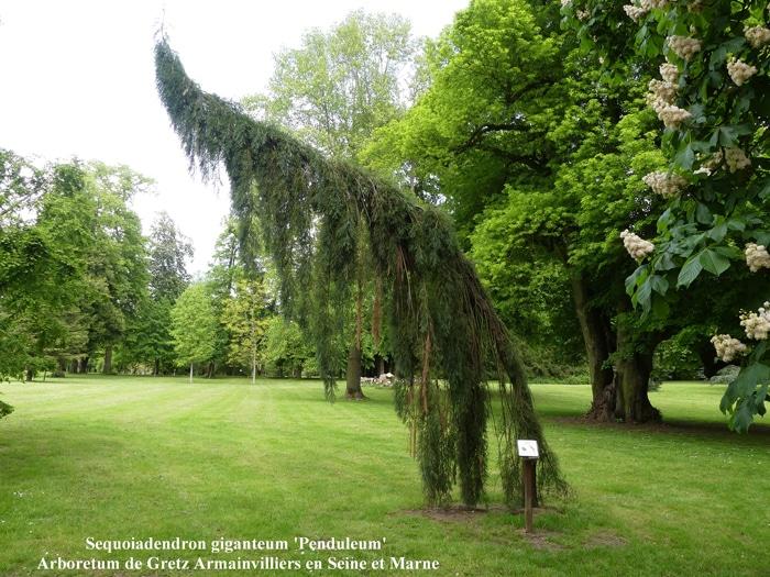 Sequoiadendron giganteum 'Penduleum'