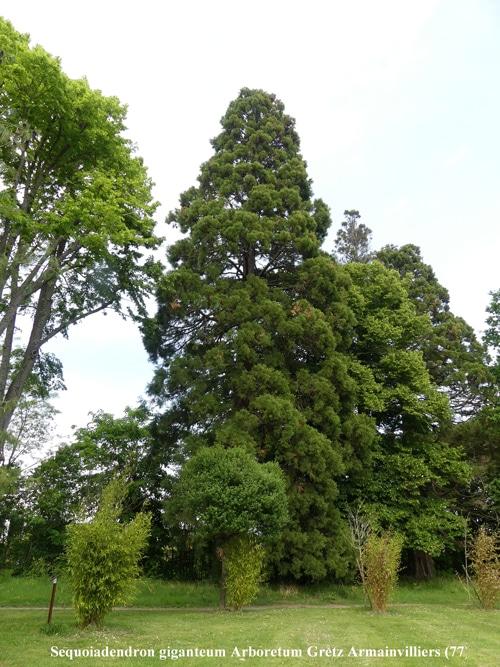 Sequoiadendron giganteum arboretum Gretz Armainvilliers
