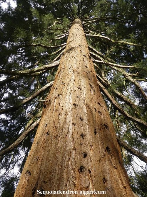 écorce Sequoiadendron giganteum