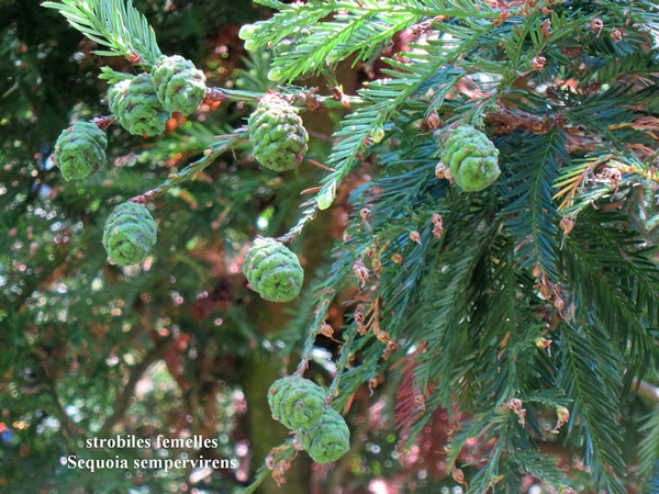 strobiles femelles Sequoia sempervirens