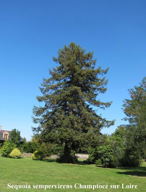 Sequoia sempervirens Champtocé sur Loire
