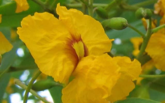 fleur de Tipuana tipu