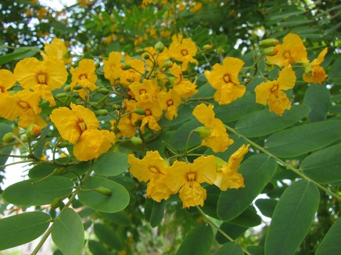 inflorescences Tipuana tipu