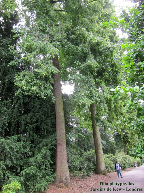 Tilia platyphyllos Kew Gardens