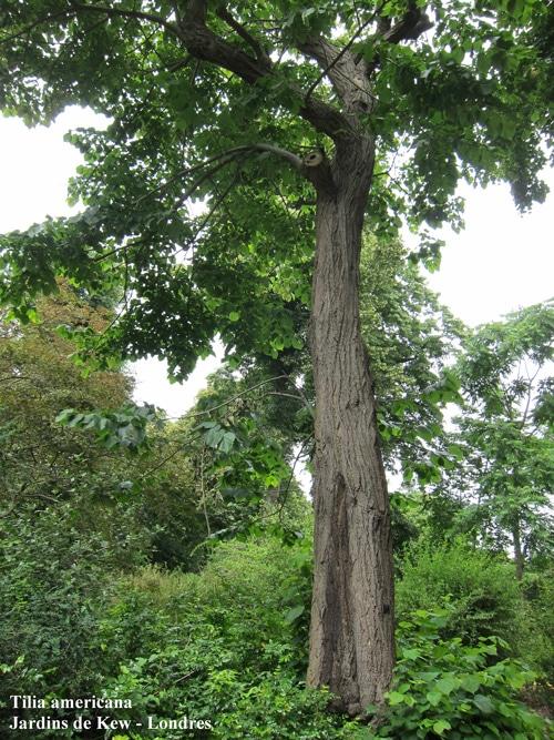 Tilia americana Kew Gardens