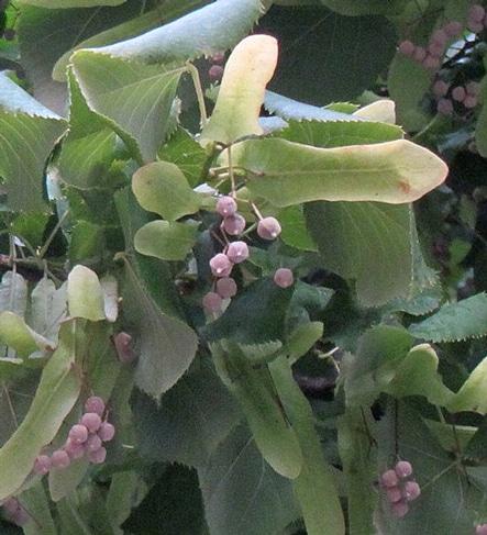 fruits en capsule du tilleul