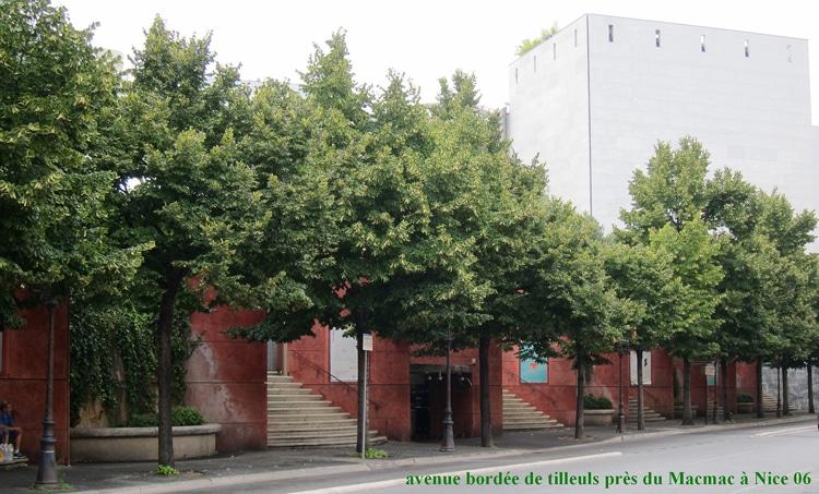 Tilleul arbres d'alignements à Nice