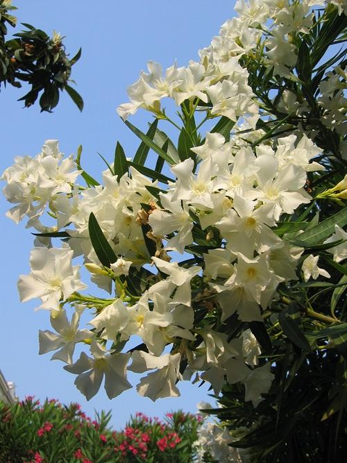 fleurs blanches Nerium oleander