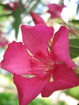 fleur Nerium oleander