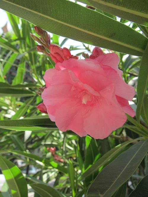 fleur double d'oléandre