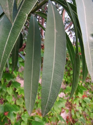 feuilles lancéolées Nerium oleander