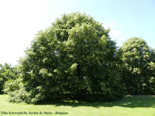 Tilia heterophylla Jardin de Meise