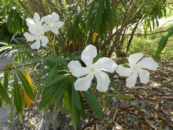 fleurs d'Apocynaceae, Nerium oleander