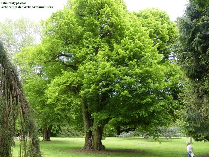 Tilia platyphyllos Arboretum de Gretz Armainvilliers