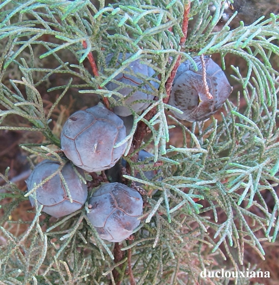 cônes Cupressus duclouxiana
