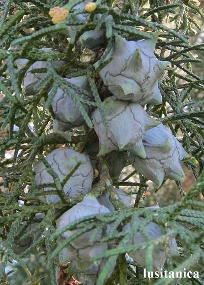 cônes Cupressus lusitanica