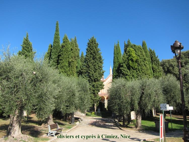 oliviers et cyprès Cimiez Nice